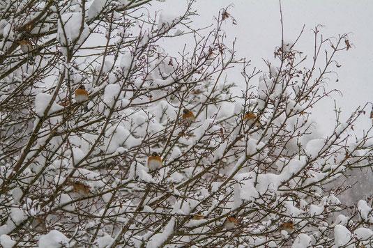 Bergfinkenschwarm im Winter (Foto: Ursula Wiegand)
