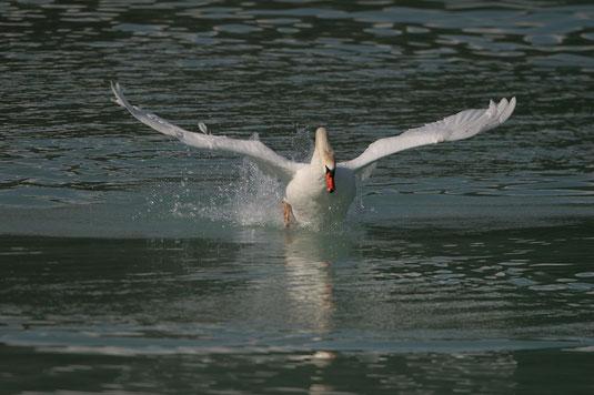 Höckerschwan beim Start aus dem Wasser (Foto: H,-J. Fünfstück, www.5erls-naturfotos.de)
