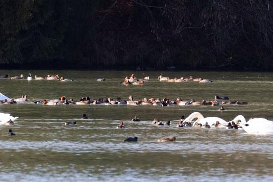 Pfeifenten und andere Wasservögel (Foto: Peter Witzan)