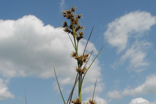 Schneidried (Cladium mariscus)  (Foto: H. Guckelsberger/LBV)