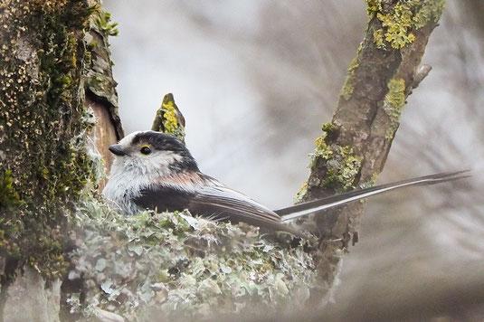 Schwanzmeise im Nest (Foto: Antje Geigenberger)