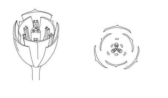 Bild 3 - Aufbau einer Lilienblüte (am Beispiel der zu den Liliengewächsen gehörigen Tulpe) Quelle: Arbeitsmaterialien der Uni Münster