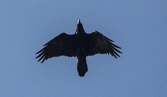 fliegender Kolkrabe (Foto: Ursula Wiegand)