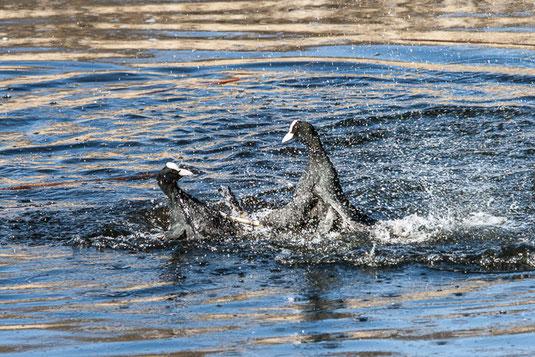 streitende Blässhühner (Foto: Ursula Wiegand)