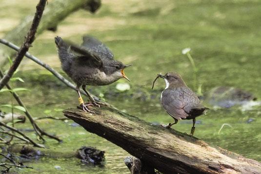 Wasseramselweibchen füttert einen Jungvogel (Foto: Antje Geigenberger)
