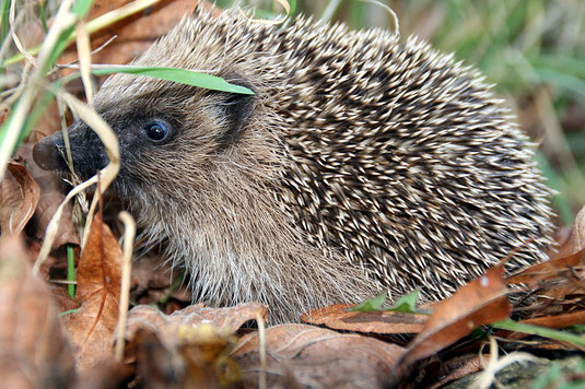 Igel by By Powerhauer (Own work) [CC-BY-SA-3.0], via Wikimedia Commons