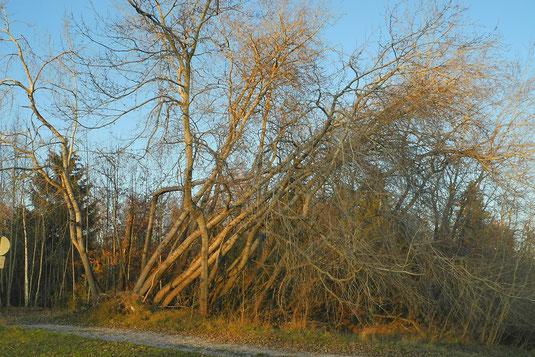 Espenwurf auf den Zeitlerwiesen, Zustand kurz vor der Fällung am 11.11.2020 (Foto: H. Guckelsberger)