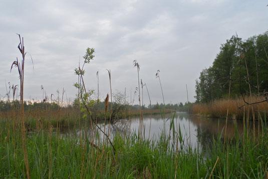 Schilfgebiete wie an der Würm im Leutstettener Moos sind der typische Lebensraum für den Teichrohrsänger (Foto: Andrea Gehrold)