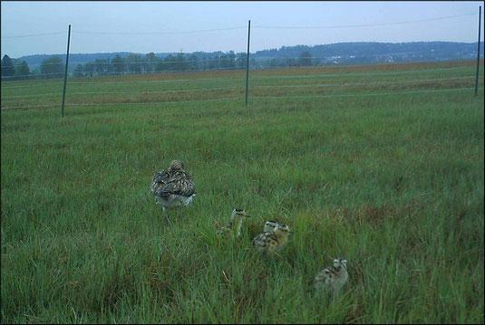 Vier Küken (1 Tag alt) am 12.5.2019 noch innerhalb des Gelegeschutzes (Foto: Wildkamera)