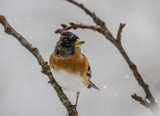 Bergfink im Winter (Foto: Ursula Wiegand)