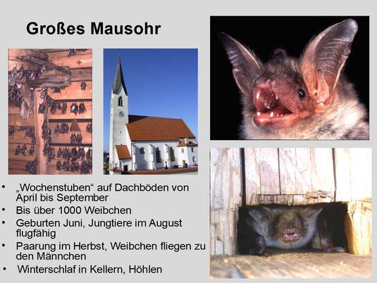 """Die """"Kirchenfledermaus"""" - das Große Mausohr"""