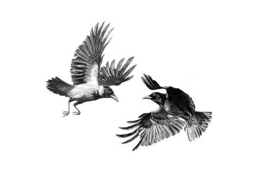 Freilassung adulter Sendervogel. Foto: Simon Weigl