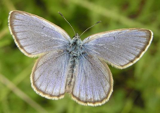 """Männchen des stark gefährdeten Enzian-Ameisenbläulings. Die blaue Flügeloberseite gab den """"Bläulingen"""" ihren Namen, sieht aber bei vielen Arten dieser Schmetterlingsfamilie ähnlich aus. (Foto: Egbert Friedrich)"""