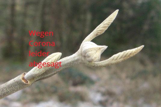 Wolliger Schneeball (Foto: Dr. Rudi Netzsch)