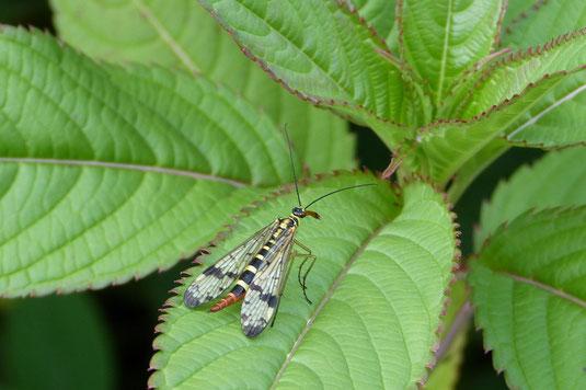 Unbekanntes Flugobjekt (vermutlich eine weibliche Skorpionsfliege - Panorpa communis)