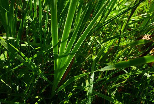 Iris sibirica - Bild 2 - Blütenloser Spross (Foto: Rudi Netzsch)