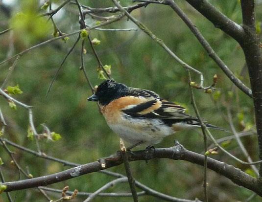 Bergfink im Sommer (Foto: Ulrike Hars)