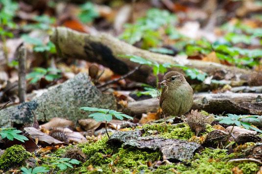 Zaunkönig (Foto: Thomas Hafen - ww.natur-fotografieren.de)