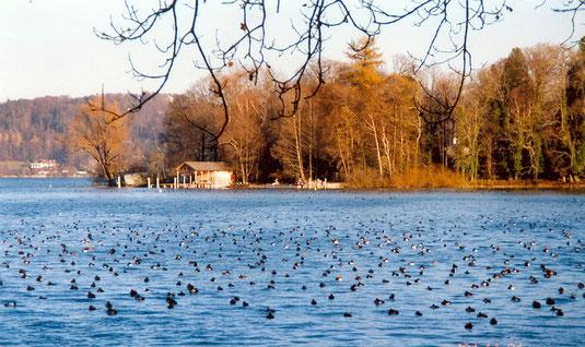 Flachwasserzone in der Bucht bei der Roseninsel, Feldafinger Gestade. Hier können sich bis zu mehrere Tausend Wasservögel aufhalten – Nahrung suchend und ruhend.(Foto: H.Guckelsberger)