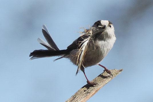 Schwanzmeise beim Nestbau (Foto: Antje Geigenberger)