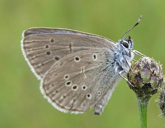 Auf den Flügelunterseiten des Enzian-Ameisenbläulings finden sich keine blauen oder orangeroten Flecken. Das unterscheidet ihn von den meisten ähnlichen, hier vorkommenden Arten. Verwechslungsgefahr besteht evtl. noch mit dem Hellen Wiesenknopf-Ameisenblä