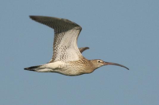 fliegender Brachvogel (Foto: Sebastian Ludwig)