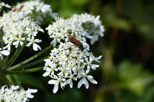 Wildbiene an Doldenblütler