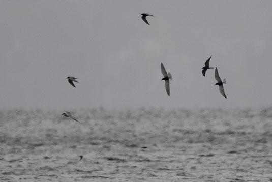 Trauerseeschwalben und etwas anderes (Foto: Ursula Zinnecker-Wiegand)