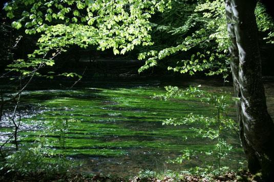 """""""Flutende Unterwasser-Vegetation"""" (Flutender Hahnenfuß) beim Durchbruch durch die Würm-Endmoräne bei Mühltal"""