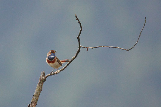 Blaukehlchen (Foto: Claudia Höll)
