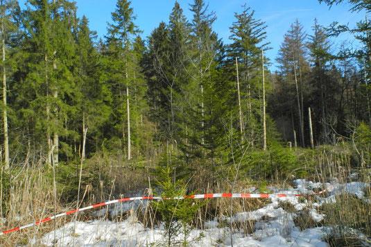 Vor Beginn der Fällungen markierter Wuchsort der Strauchbirke (Betula humilis). Dahinter die inzwischen erfolgten Fällungen.