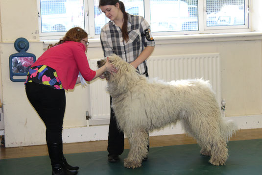 15 month old Regerastace Komondor being examined by a judge during a Group Open Show, 2016.