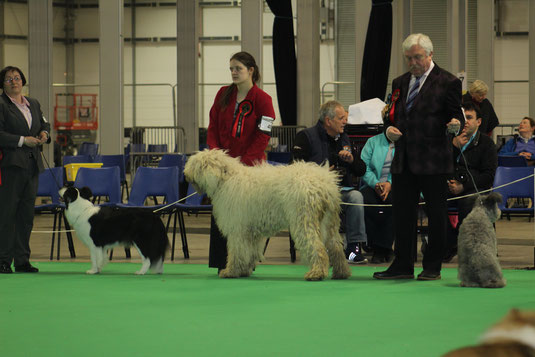 A Regerastace Bitch, Quinn, competing for Best In Group during Banbridge Championship show, 2017.