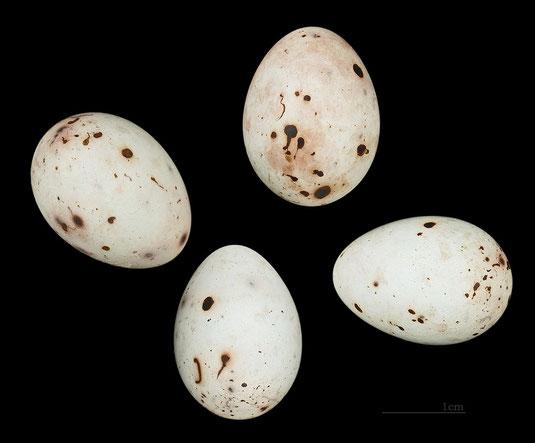 ei des buchfinken museum de toulouse common license