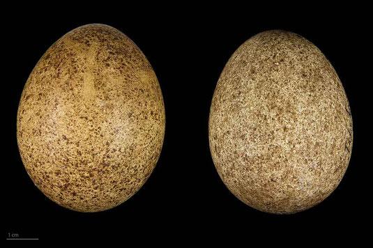 Eier des Lannerfalken museum de toulouse common license