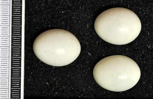 mittelspecht eier museum wiesbaden common license