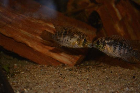 Andinoacara biseriatus Revierkämpfe