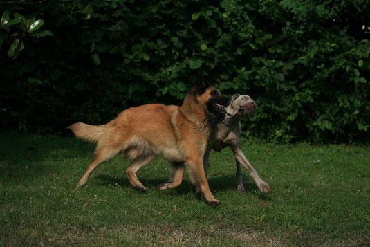 Hundeliebe International: Elliss und ihr Weimaraner-Freund in Frankreich (Bild: P. Bauer)