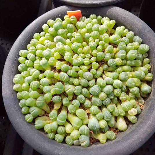 去年種をまいたリトープスの実生苗です。
