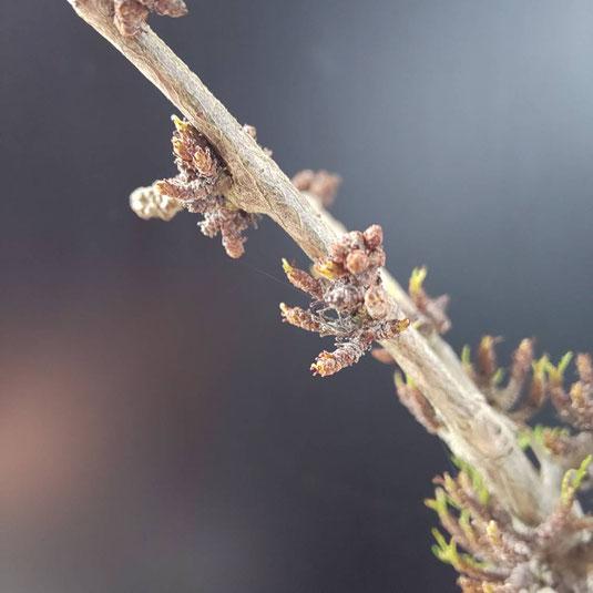 いくつもの芽が生えているモンストタイプ