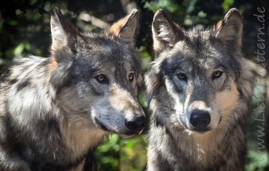 Der Wolf ist ein Fleischfresser. Aber gilt das auch noch für unsere Hunde?