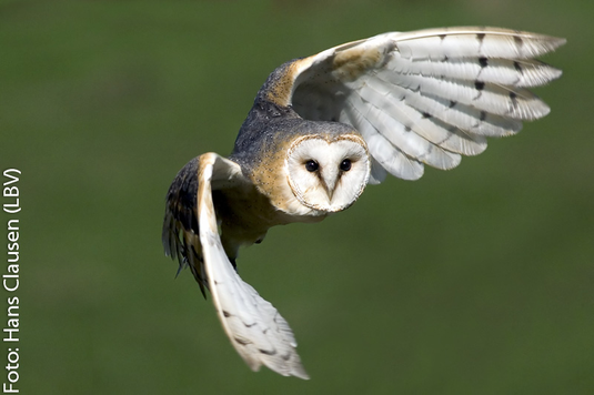 Schleiereule im Flug (Foto: Hans Clausen)
