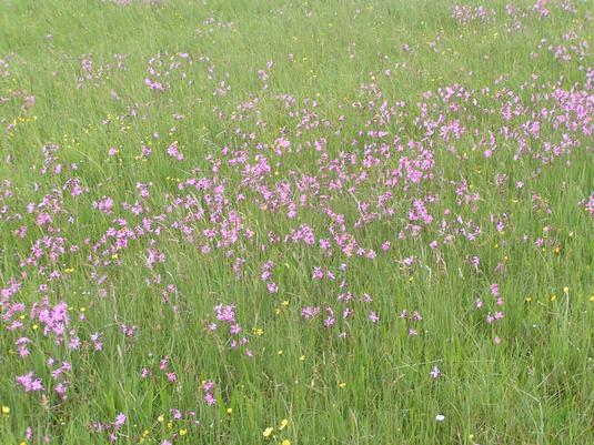 Auf der Feuchtwiese in Wolkertshofen sind auch Kuckuckslichtnelken zu finden. Foto: LBV