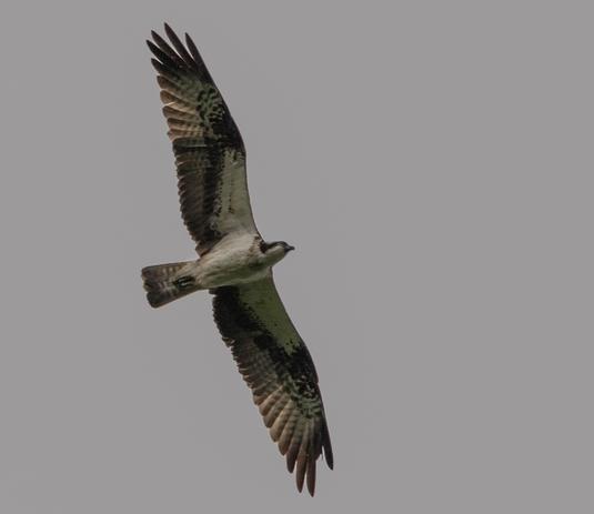 Fischadler (Foto: Ursula Wiegand)