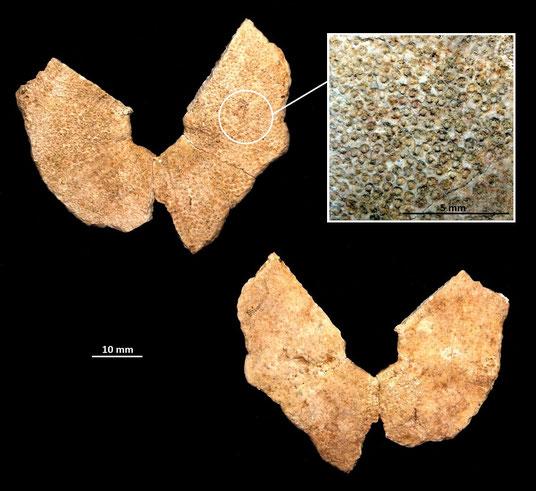 Parte inferiore di riccio irregolare, sabbie gialle a echinodermi di Tarquinia (VT)