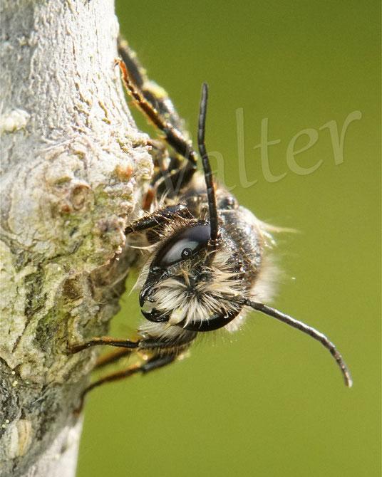 18.05.2021 : Rostrote Mauerbiene, Männchen nach dem Regen