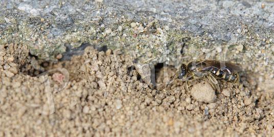 02.04.2017 : Furchenbiene am Nistplatz unterhalb einer Steinmauer