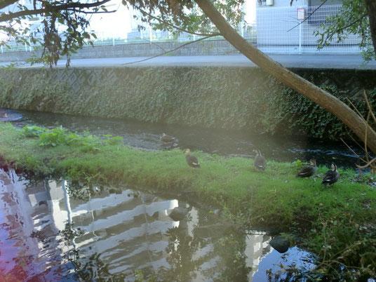源兵衛川下流。カモがたくさん。ここで源兵衛川散歩はおしまいです。