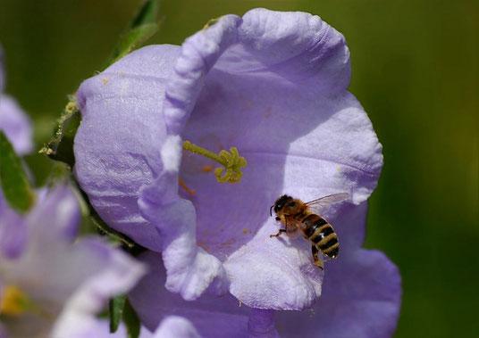 Die Biene auf dem Weg zum Nektar