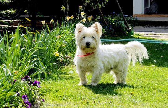 Das ist ein West Highland White Terrier (Westie)